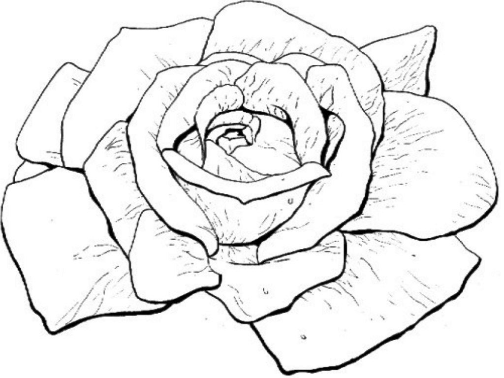 Bloom Roses Coloring Pages Printable Free Download
