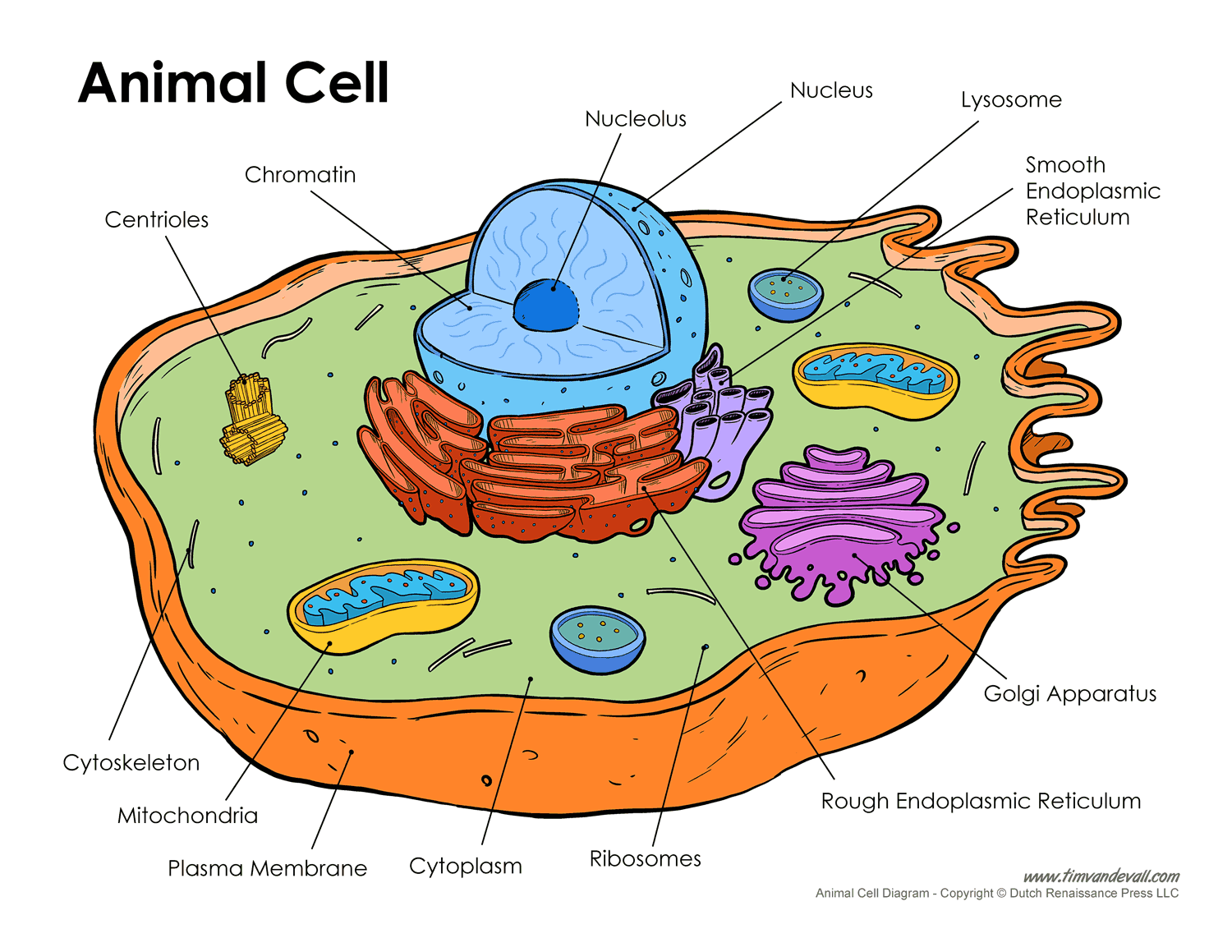 Animal Cell Coloring Key  Animal Cell Model Colouring Pages Page