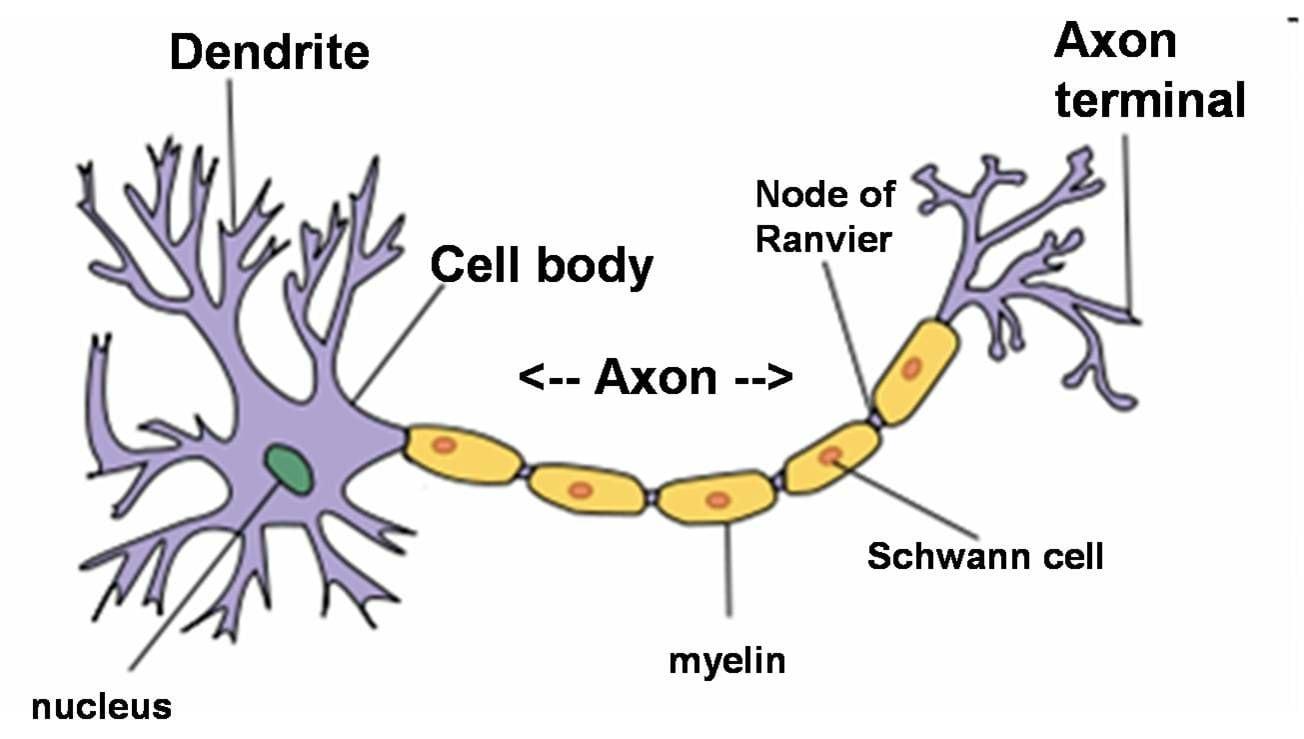 Simple Neuron Diagram  U2013 Neo Coloring