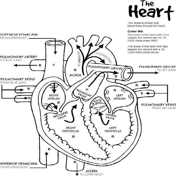 Marieb Anatomy Physiol Photo Album Website Anatomy And Physiology