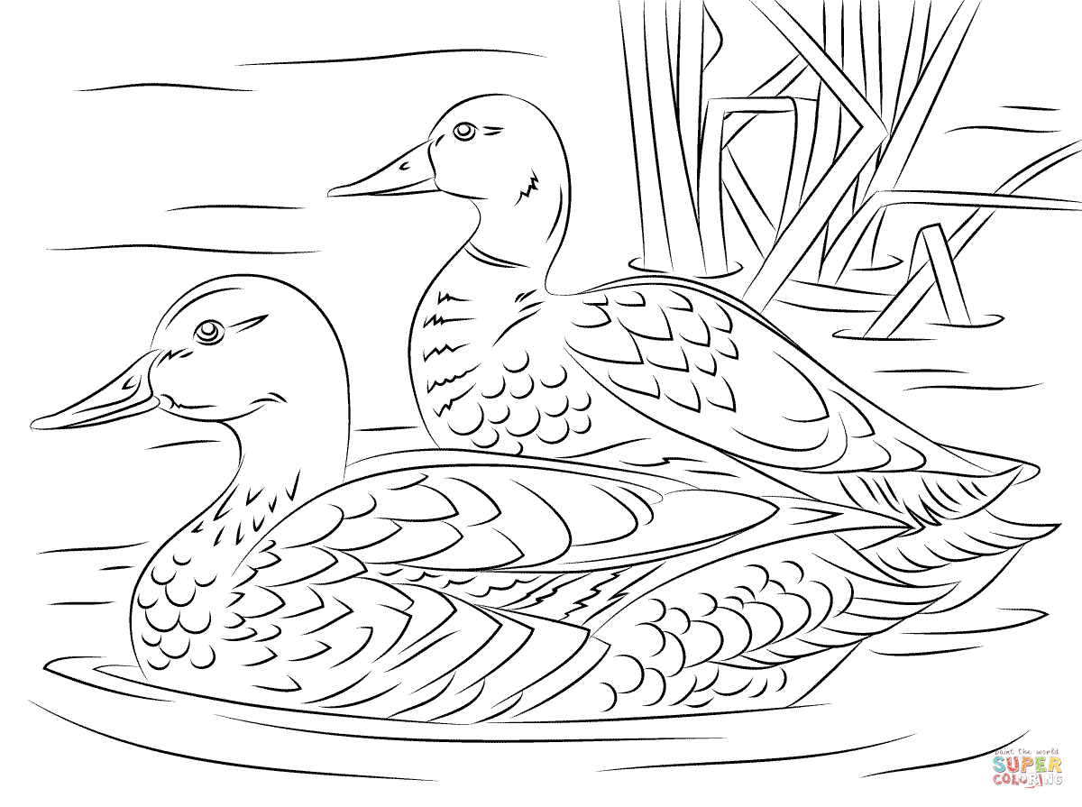 Duck Coloring Page Pair Of Mallard Ducks Free Printable Pages