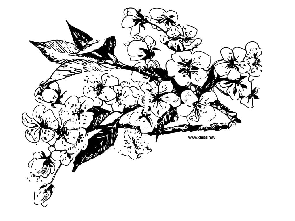 Approved Cherry Blossom Coloring Page  3106