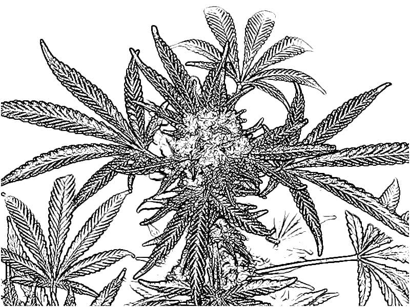 Cannabis Coloring Book Pages – Color Bros