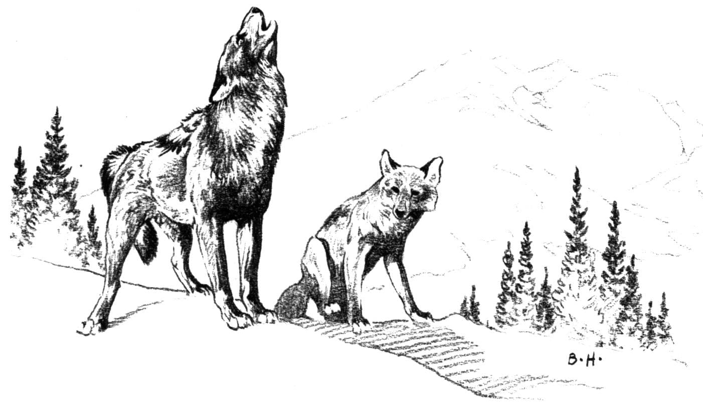 Free Coyote Coloring Page