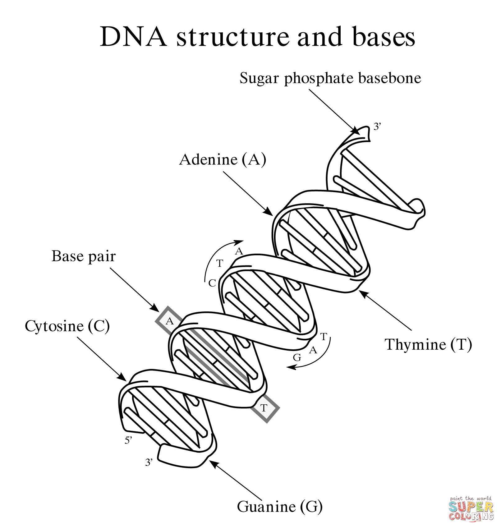 Dna Coloring Page Rna And Dna Worksheet Free Printable Pages With