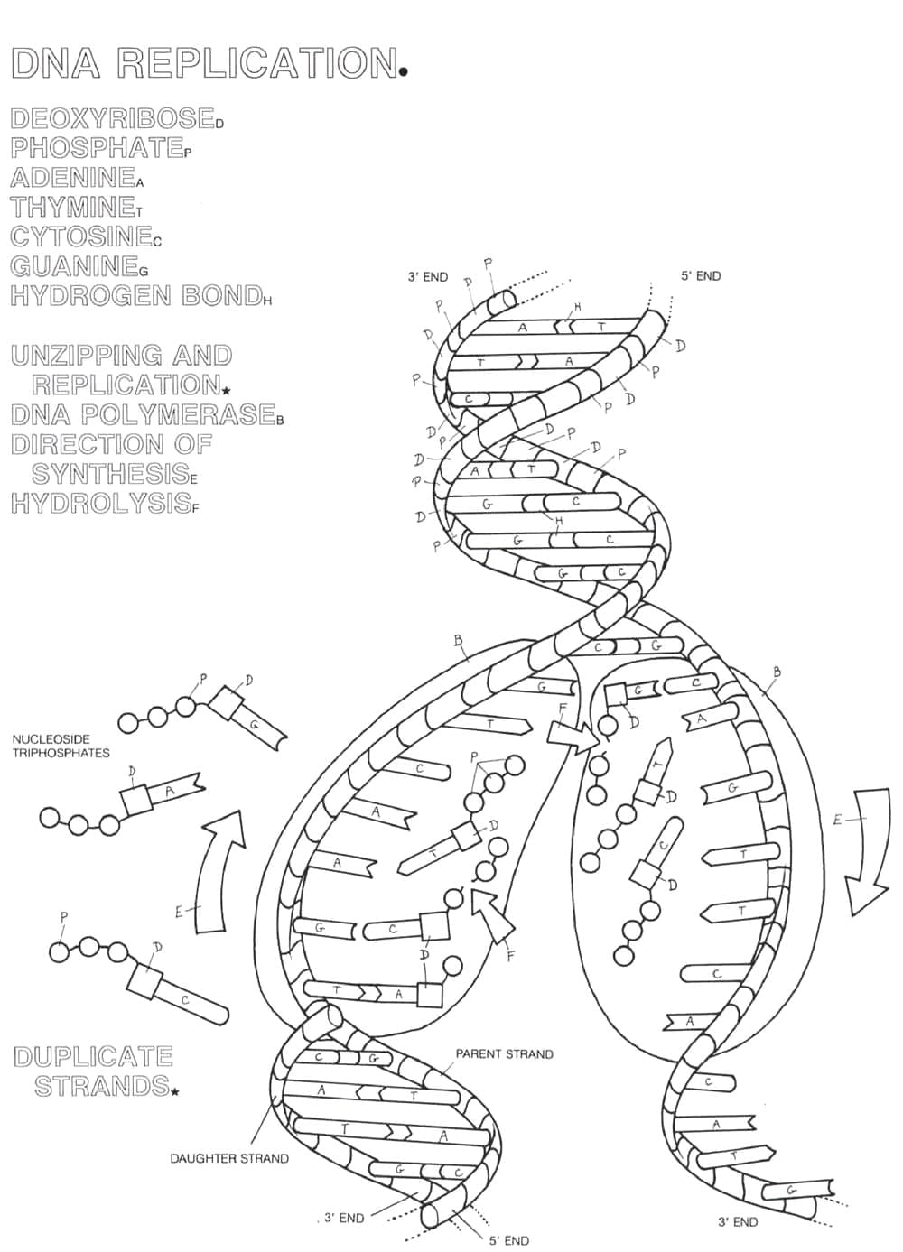 Dna Coloring Page Replication Worksheet Collection Printable