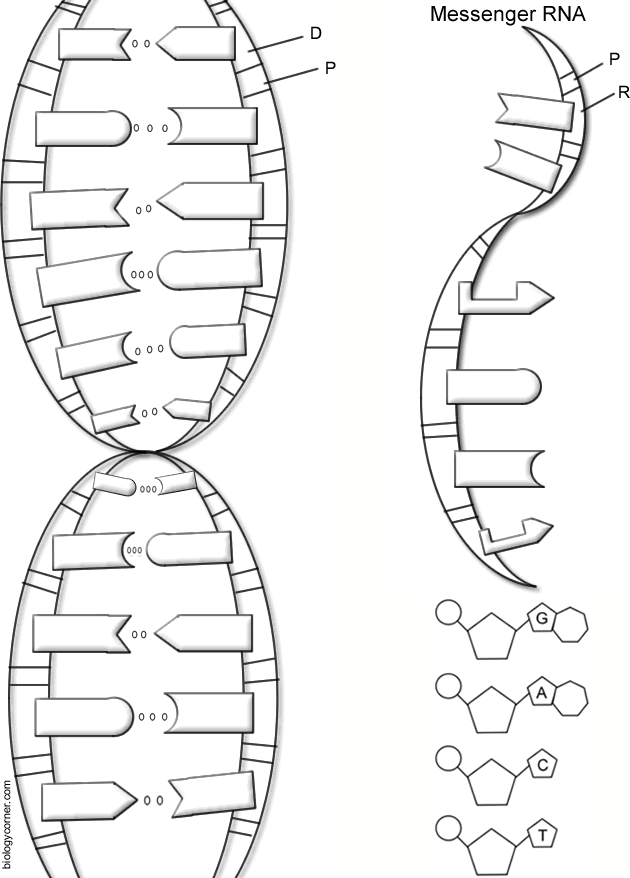 Dna Coloring Worksheets The Best Worksheets Image Collection