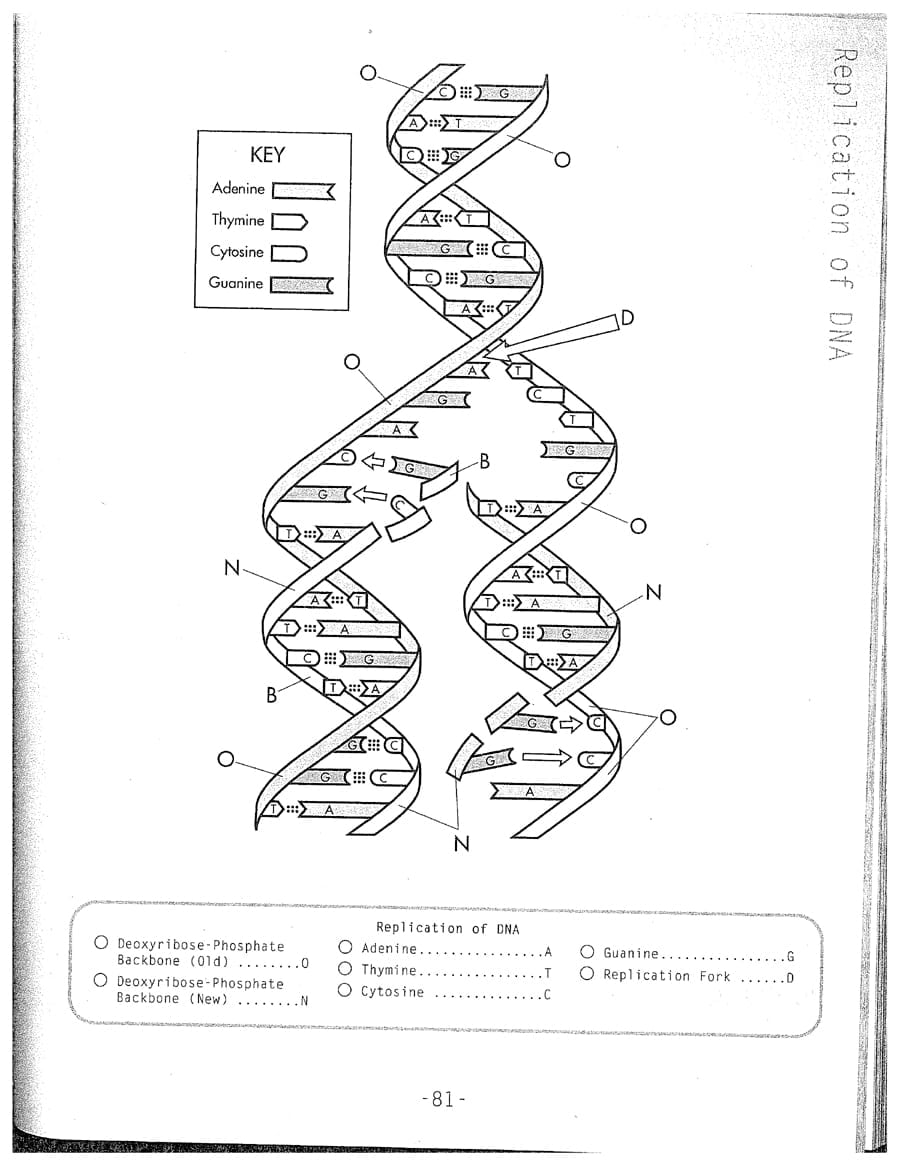 Dna Replication Coloring Worksheet On Dna Inside Page