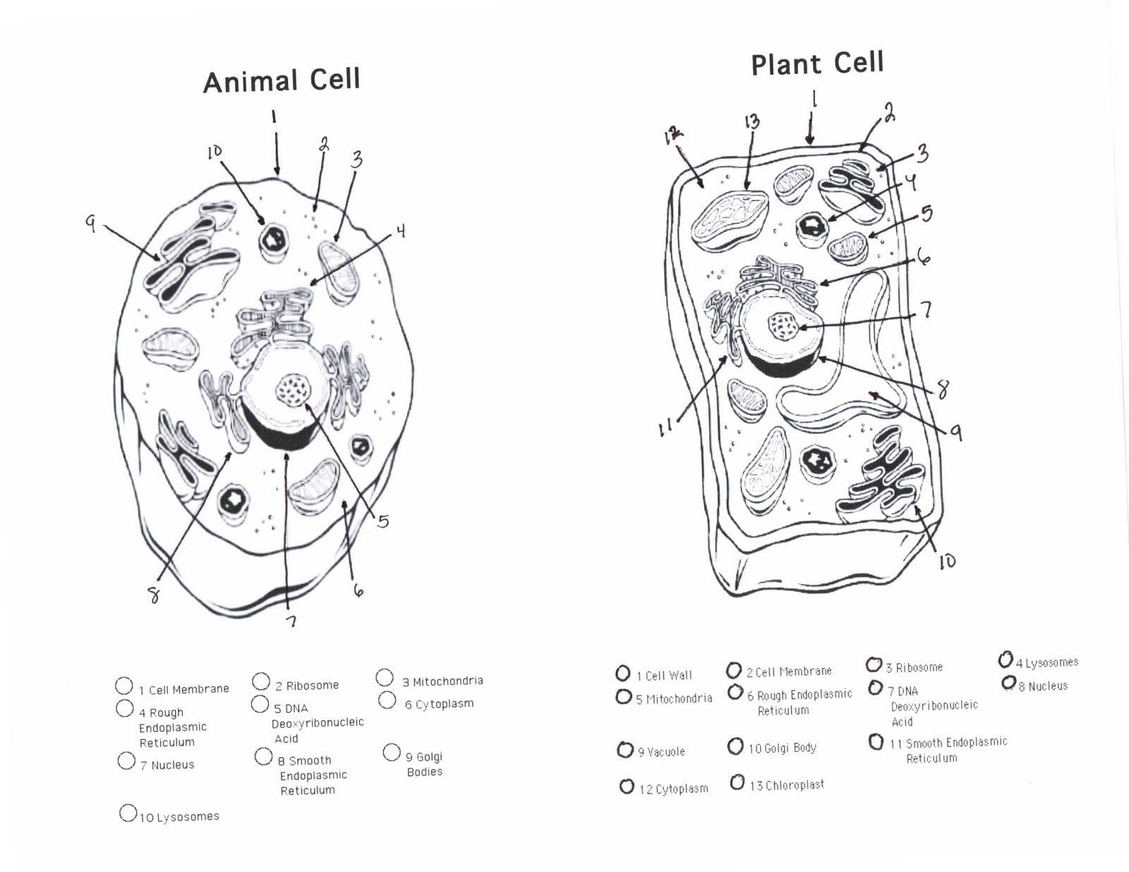 Plant Cell Coloring Answer Key – Wurzen Info