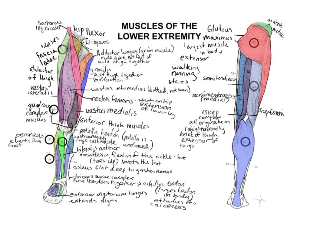 Muscle Anatomy Coloring Book – Anatomy Human Body Anatomy Coloring