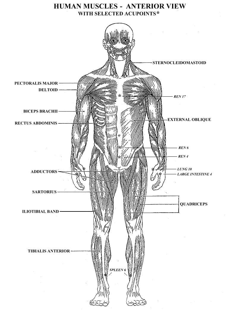 Muscles Of The Body Coloring Pages Printable Muscle Diagram Human