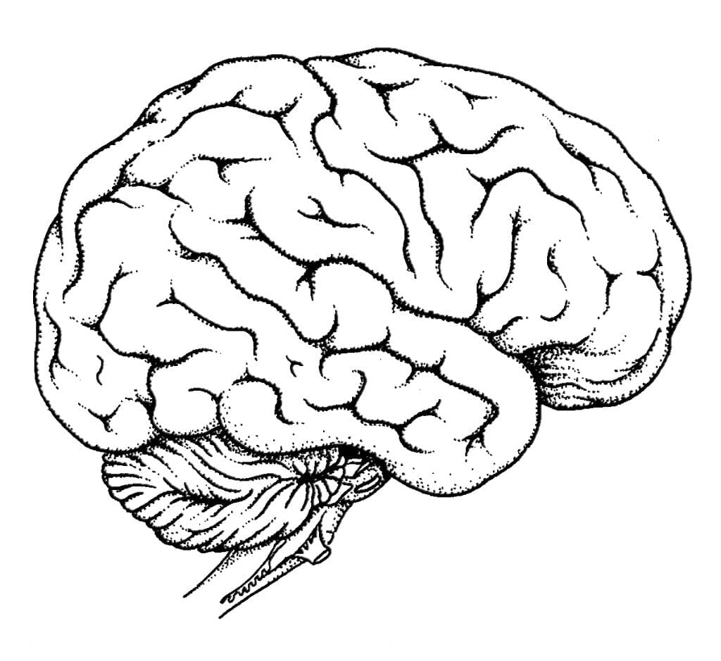 On Brain Coloring Page Pages For Children And