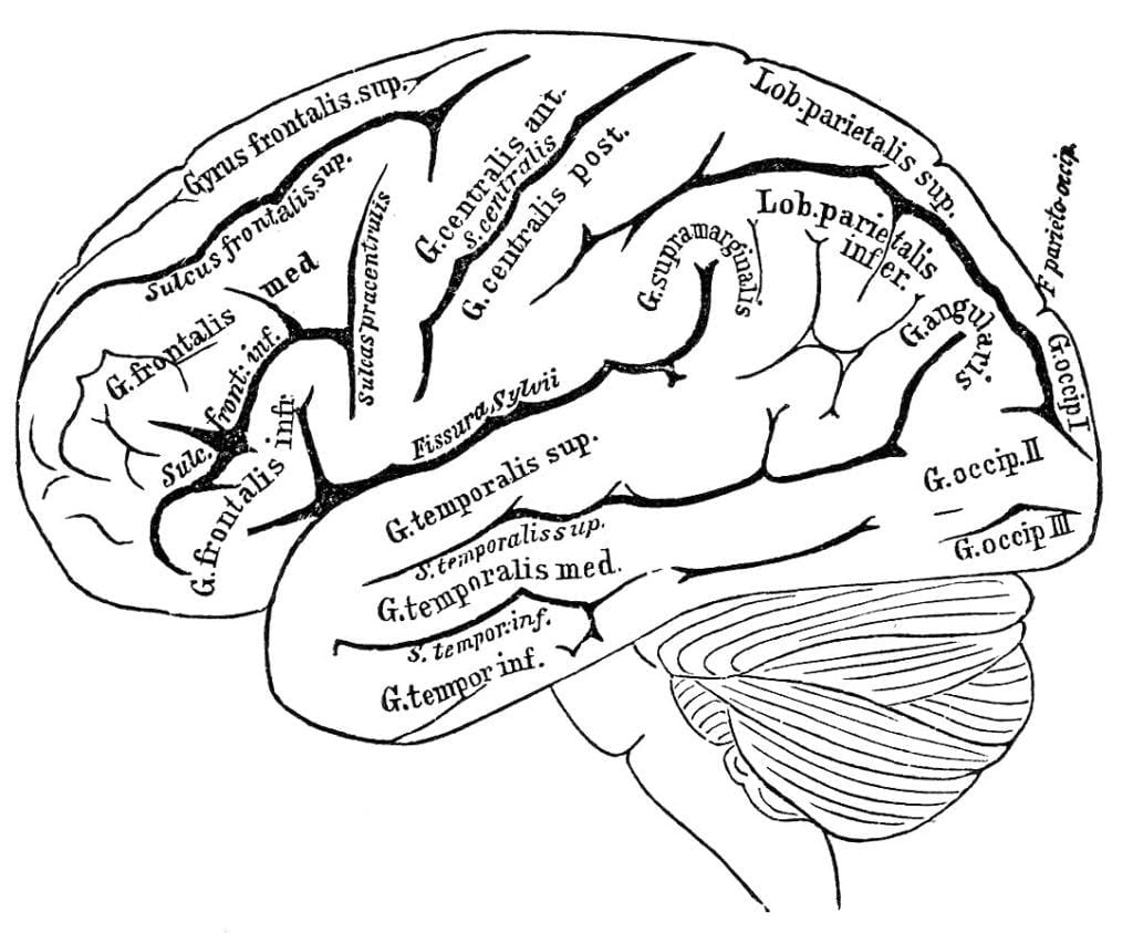 Brain Diagram For Kids Pictures
