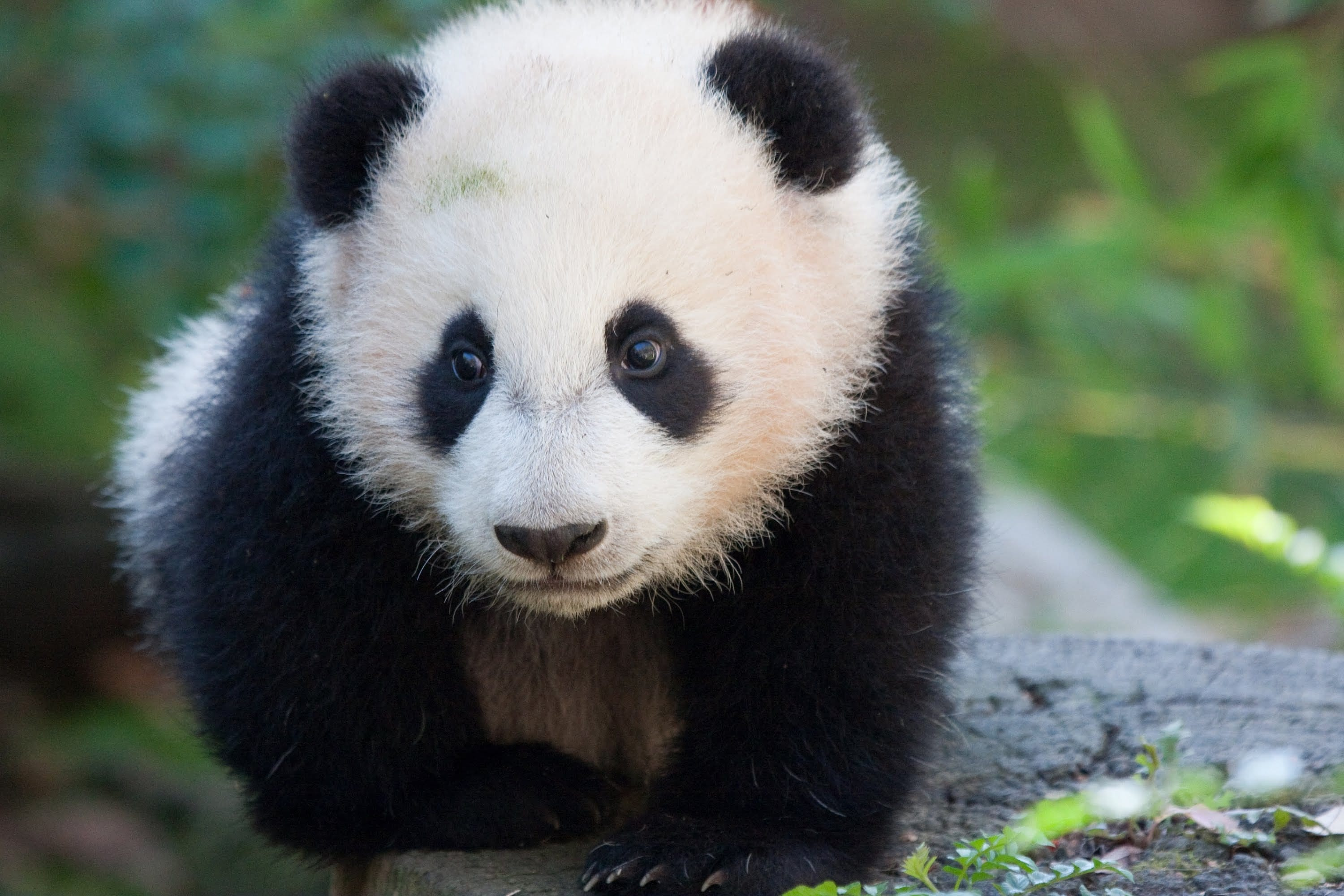 Odd Panda Bear Pictures For Kids Unlimited Giant F 13321 Unknown
