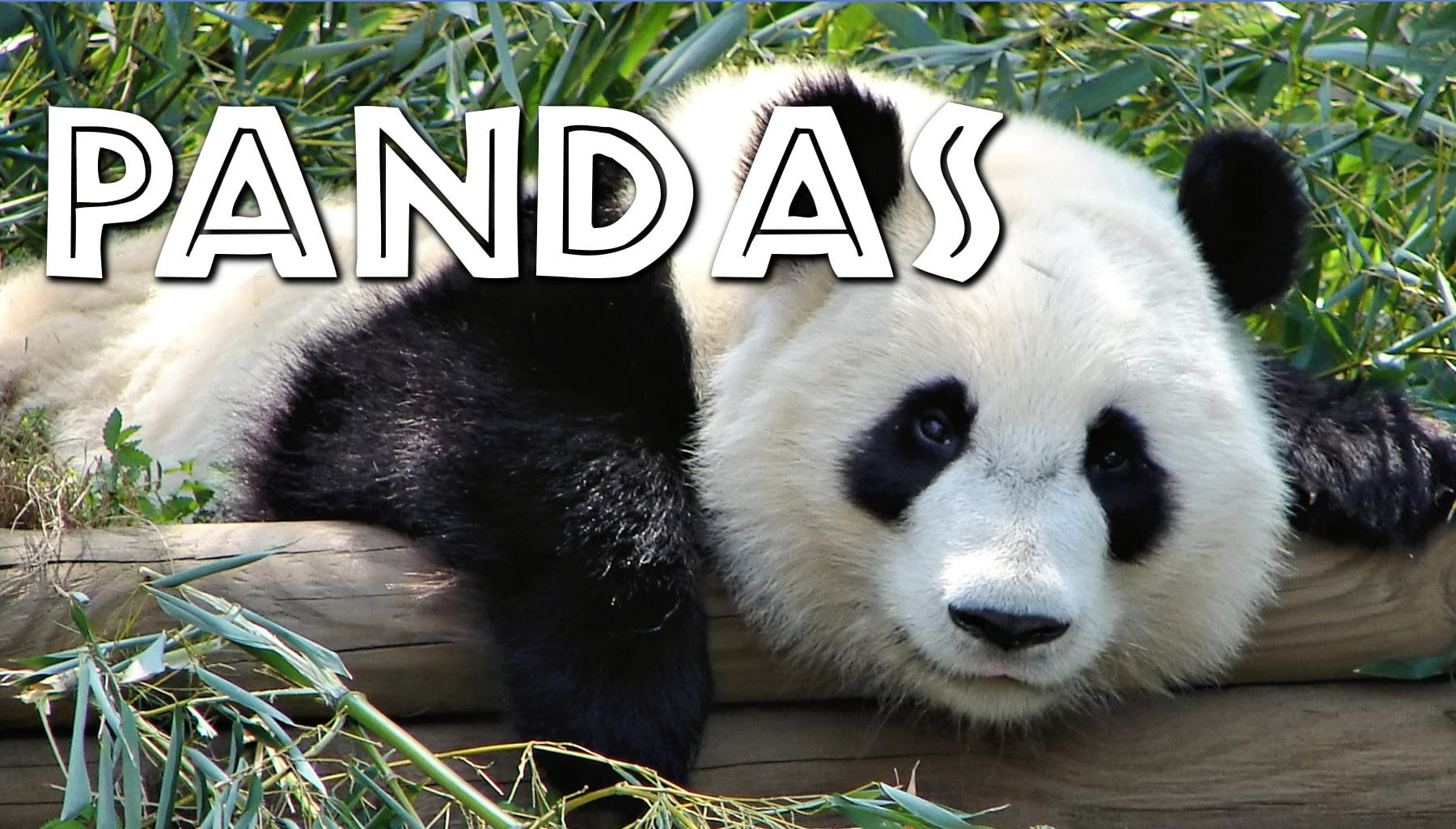 All About Pandas For Kids