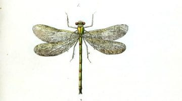 Pictures Of Dragonflies To Print
