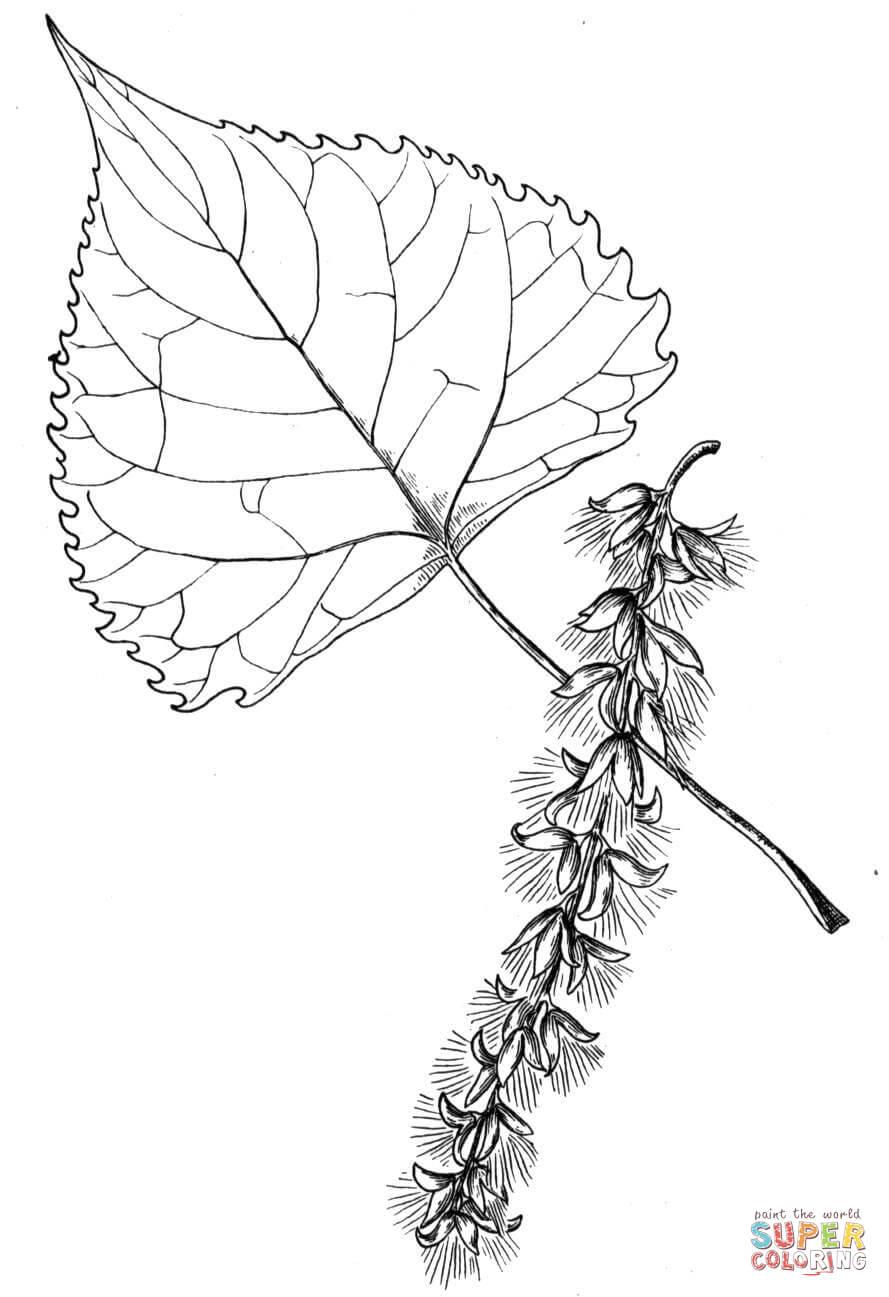 Cottonwood Tree Leaf Coloring Page