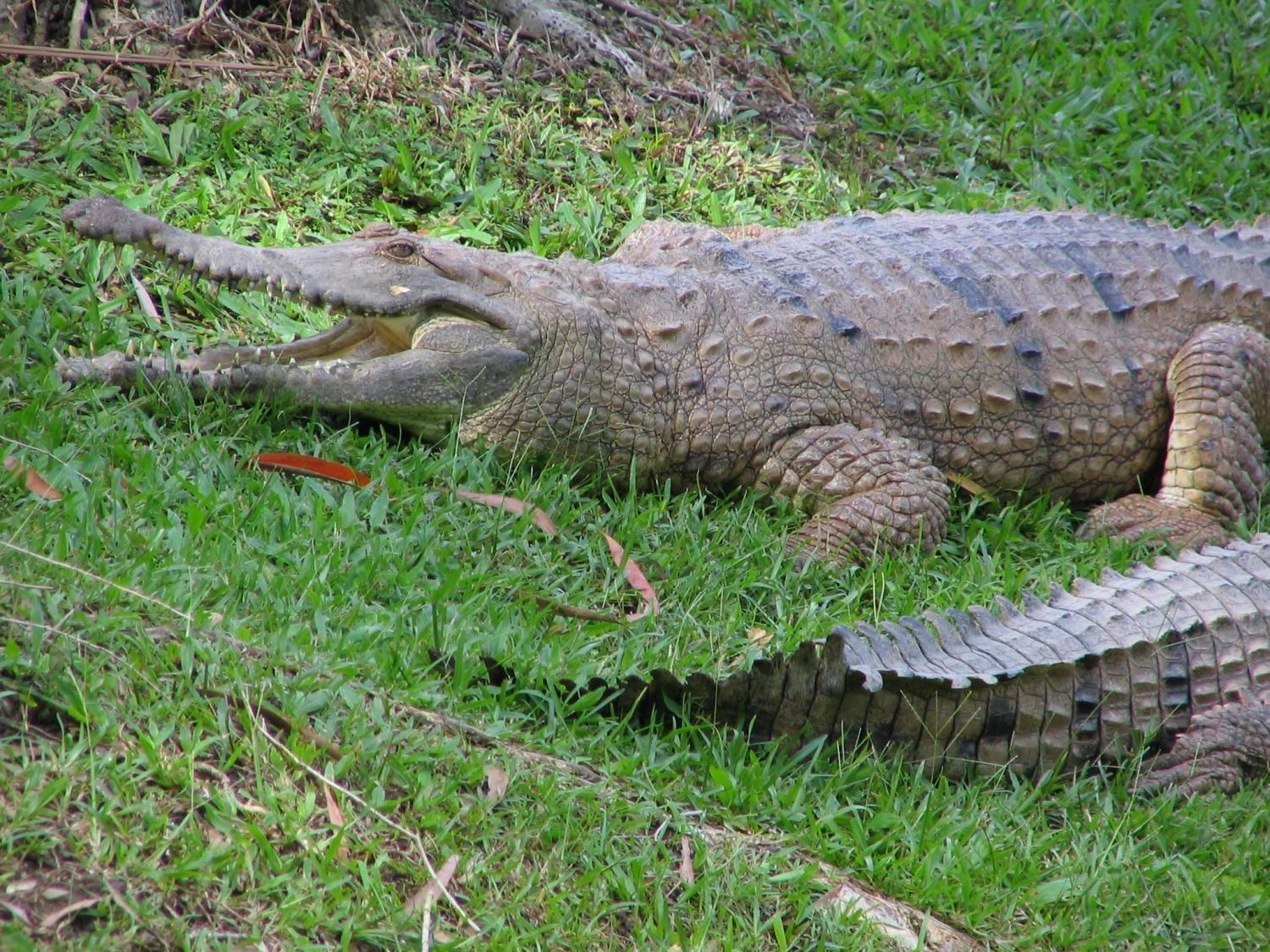 Analysis Of Crocodile Retina Reveals Trait That Makes Lying In