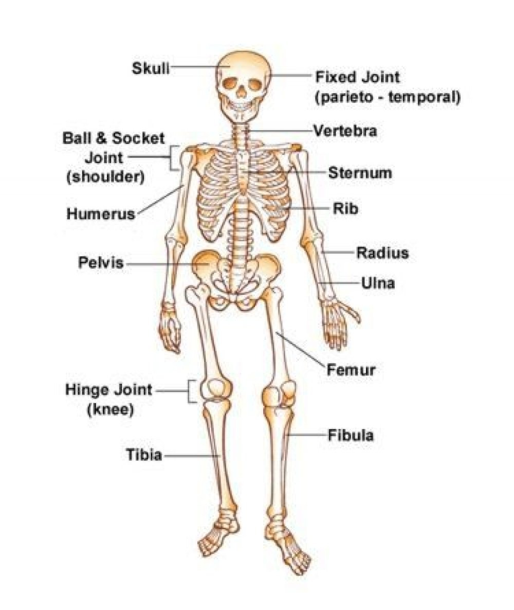 Free Skeleton For Kids, Download Free Clip Art, Free Clip Art On