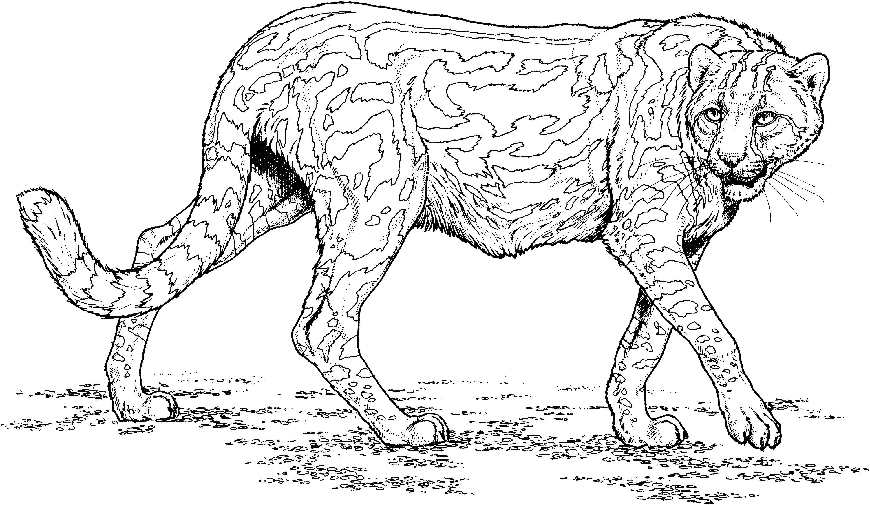 Cool Cheetah Coloring Page Colouring In Snazzy Cheetah Coloring