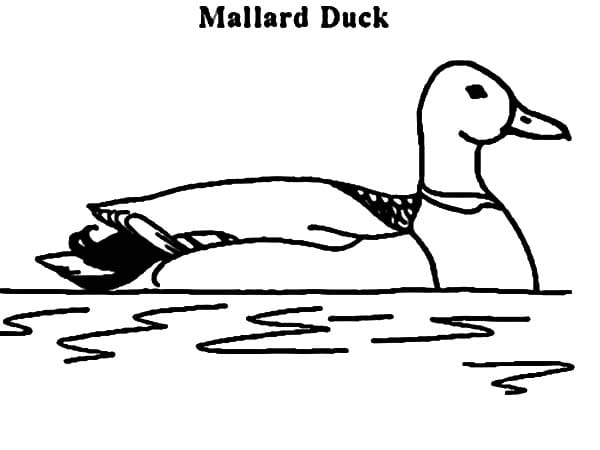 Mallard Duck Coloring Page