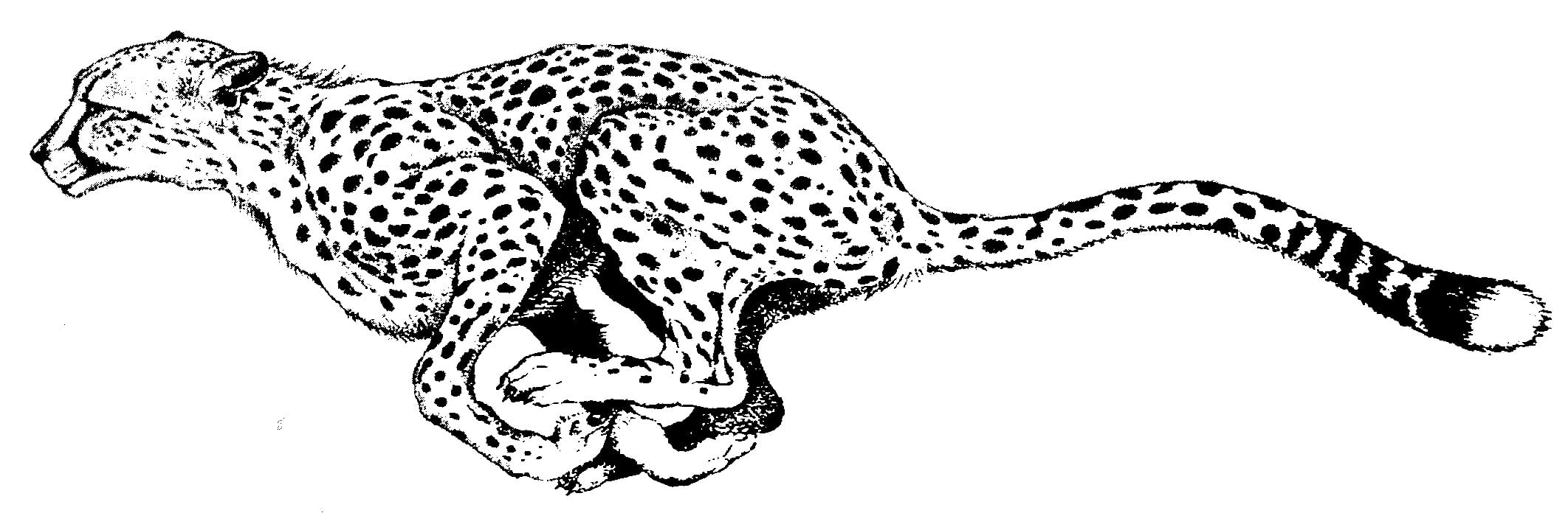 Nice Ideas Cheetah Outline Download Coloring Pages Page Drawing
