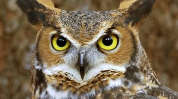 Owl Faces Pictures