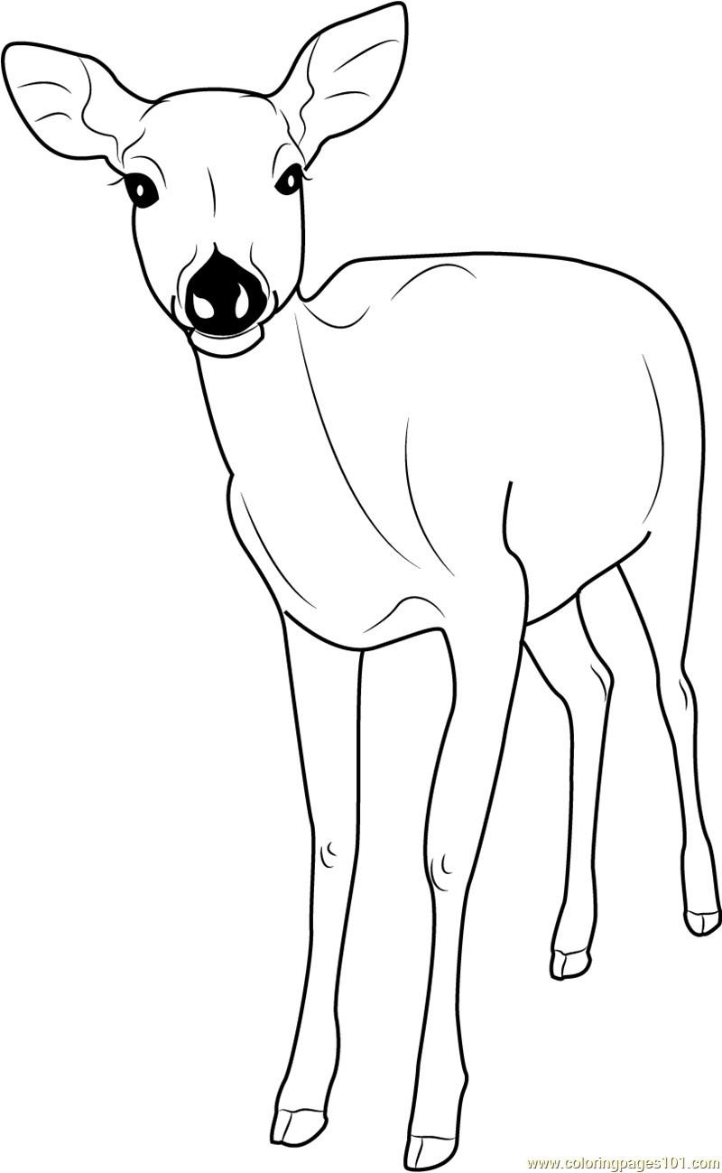 Formosan Sika Deer Within Deer Coloring Page