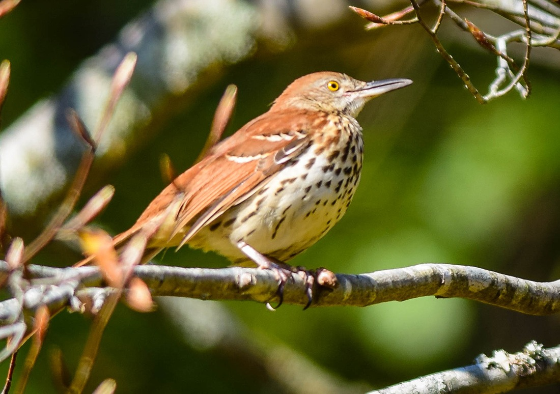 The Brown Thrasher, Georgia State Bird
