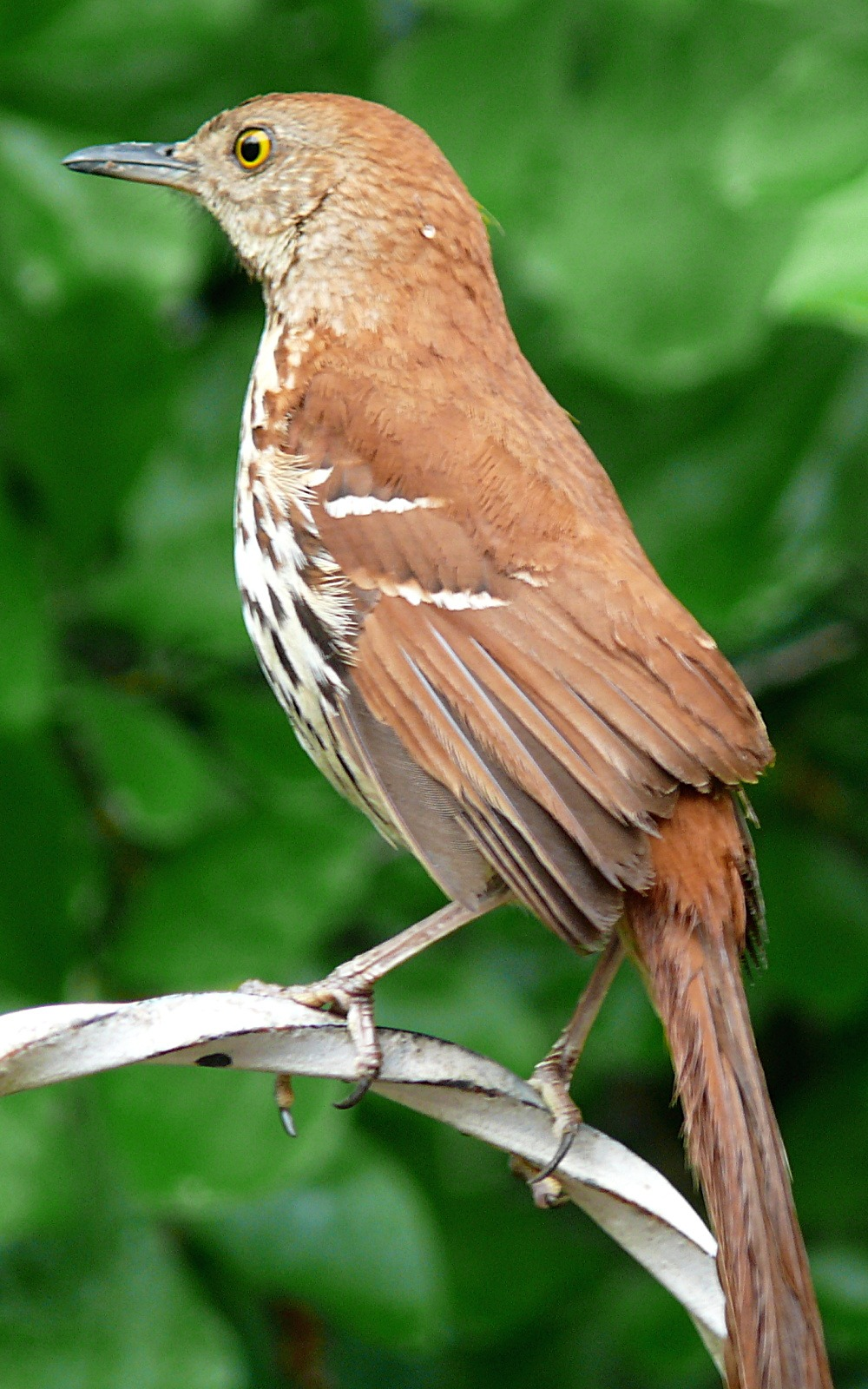 The Official State Bird Of Georgia
