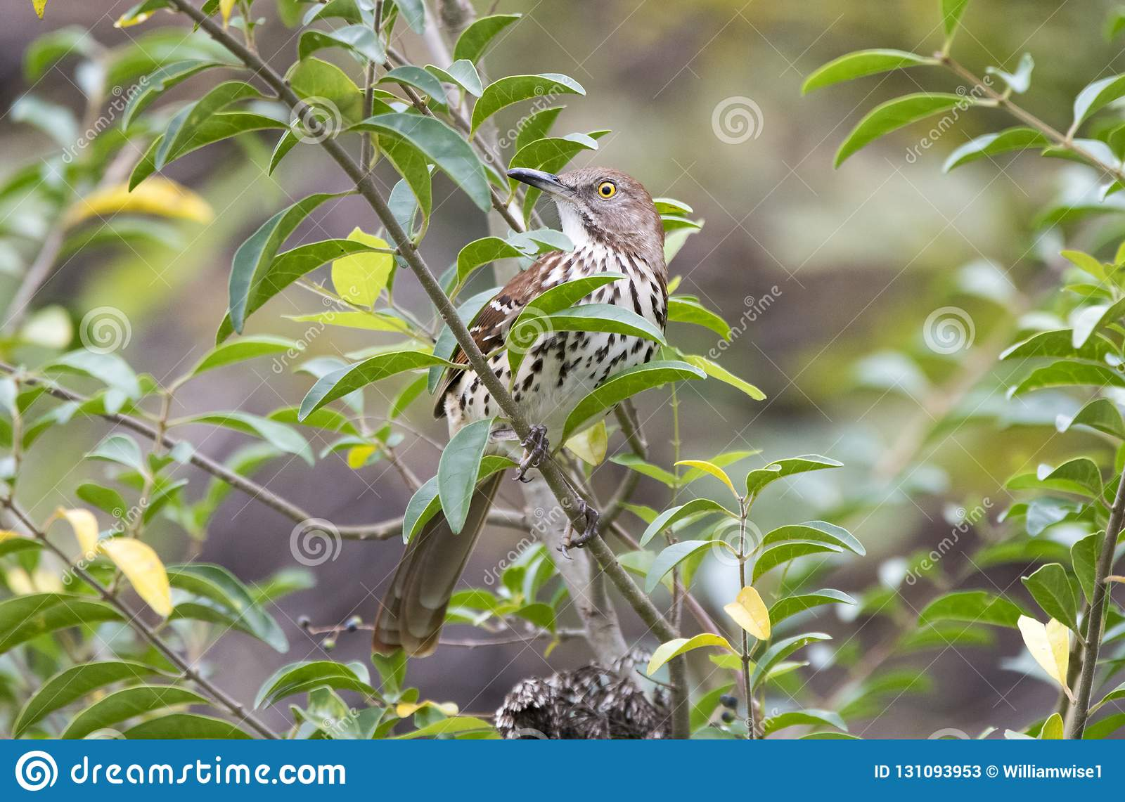 Brown Thrasher Georgia State Bird Stock Image