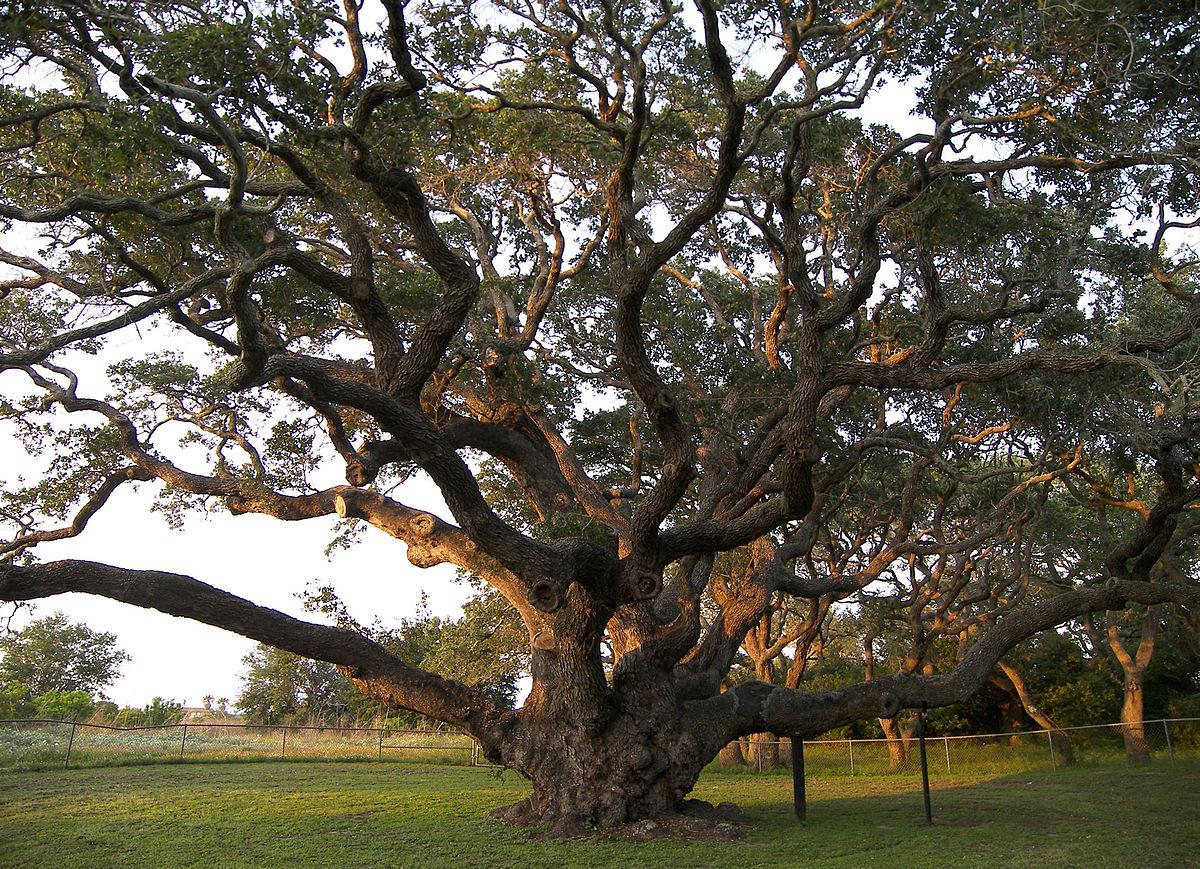 The Big Tree, Rockport