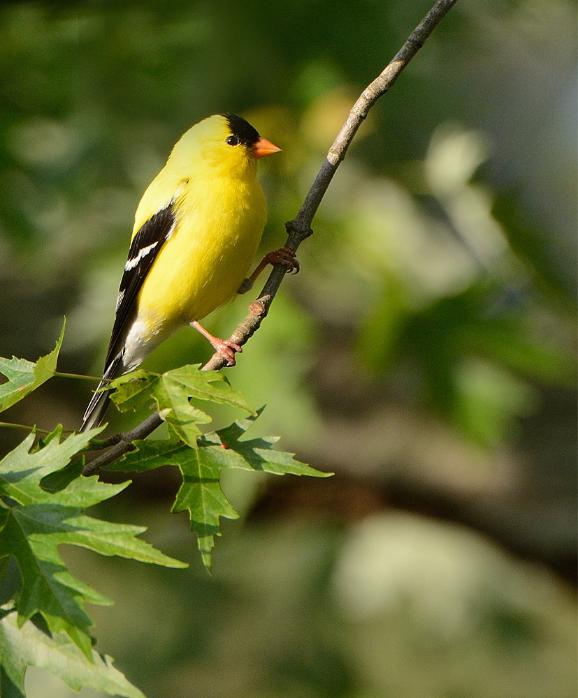 Goldfinch (new Jersey State Bird By Whtknight Photography Creatures