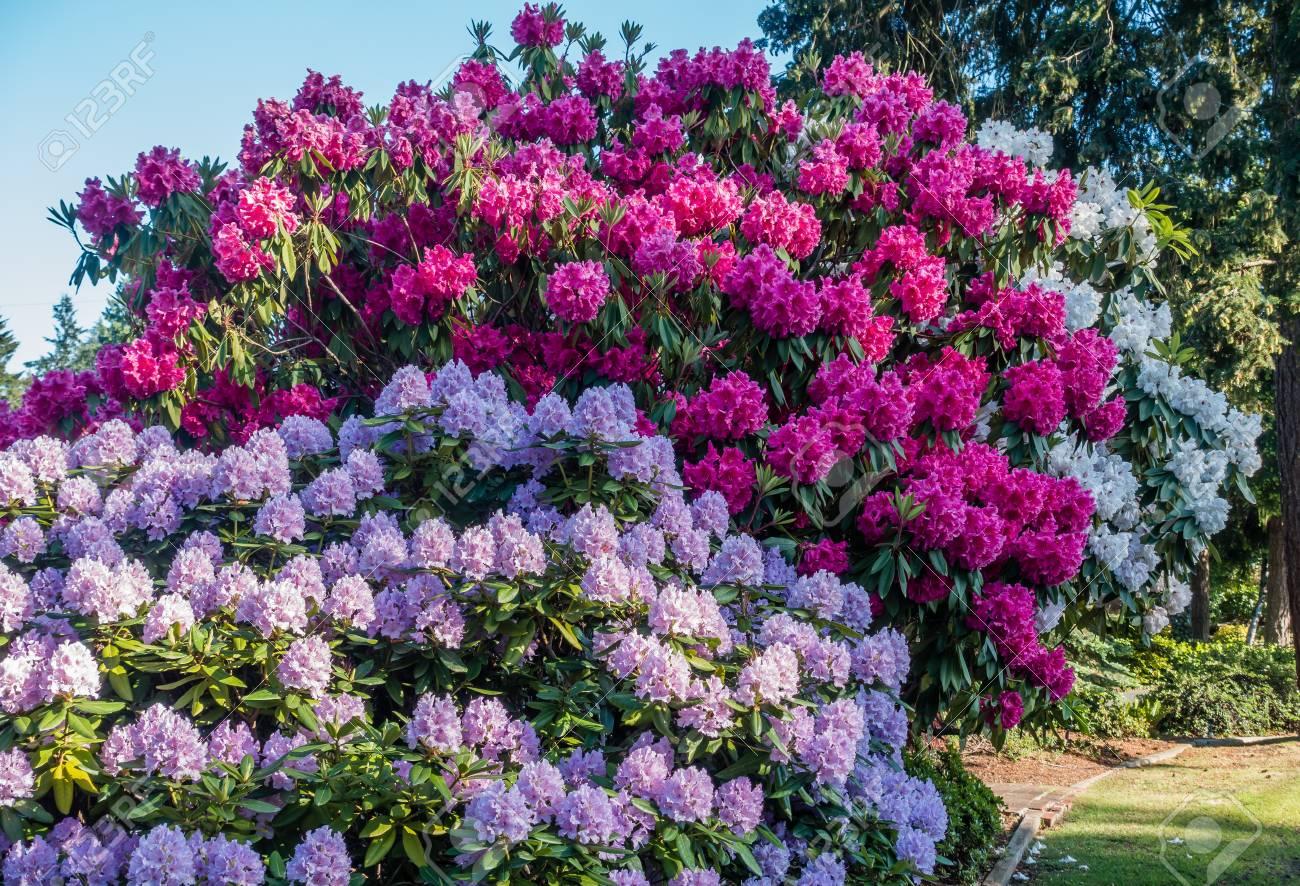 The State Flower Of Washington Grows Big In Burien, Washington