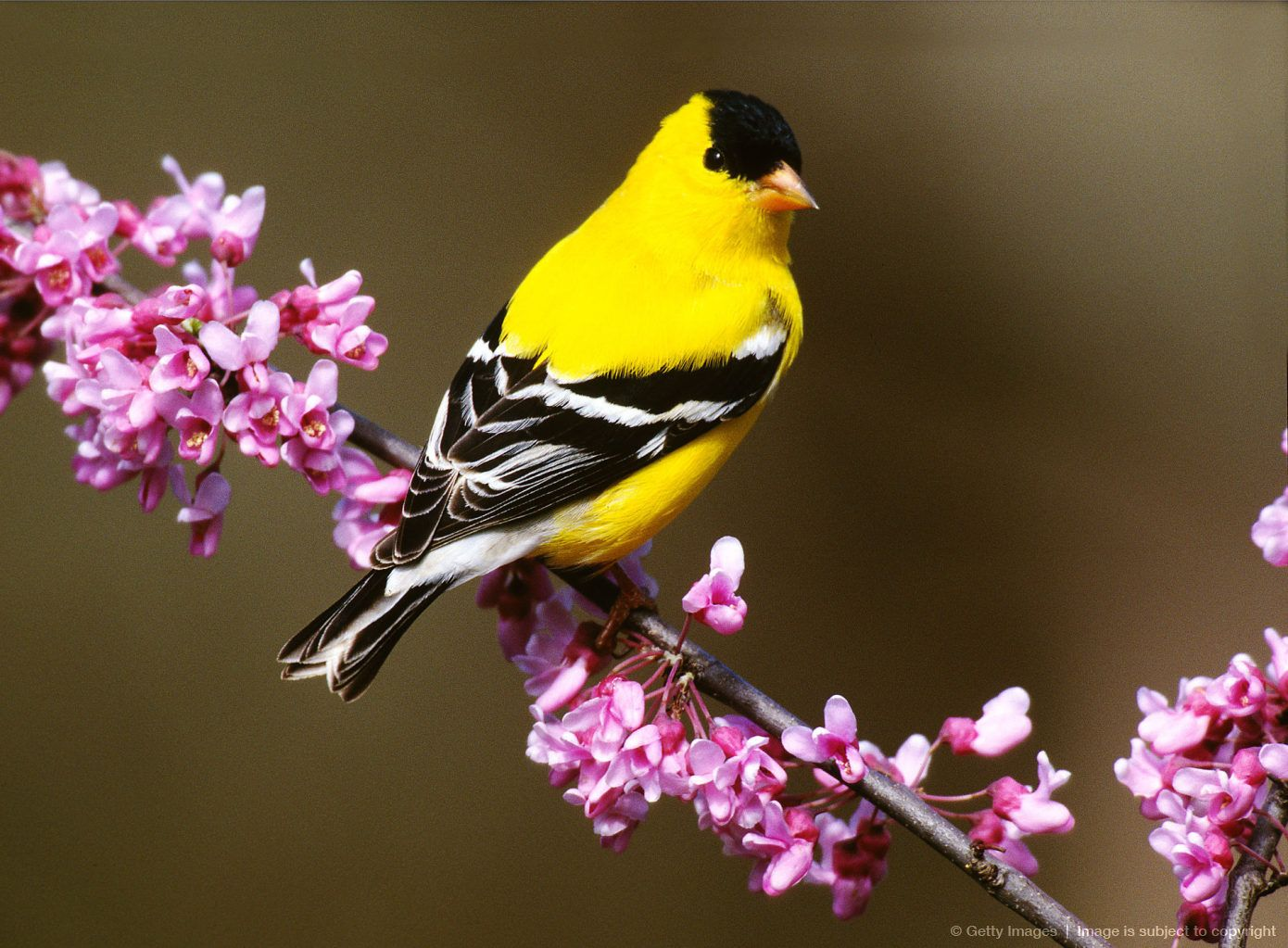 American Goldfinch State Bird Of New Jersey