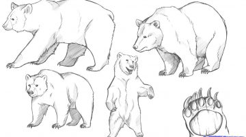 How To Draw A Realistic Bear