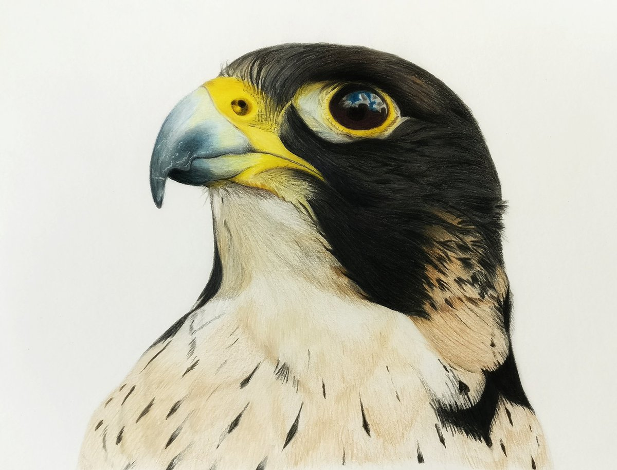 Manish Mutalik On Twitter   A Peregrine Falcon Sketch In Colour