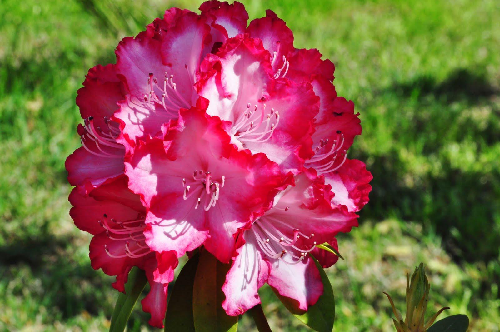 Rhododendron Macrophyllum Flower
