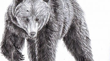 Sketch Of Black Bear