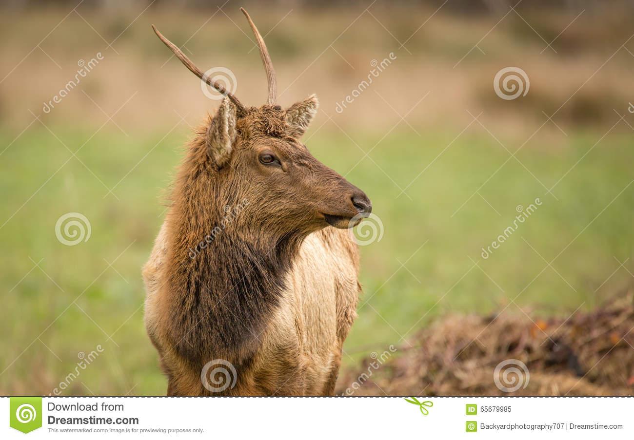 Elk, Juvenile Male, Color Image, California Stock Image