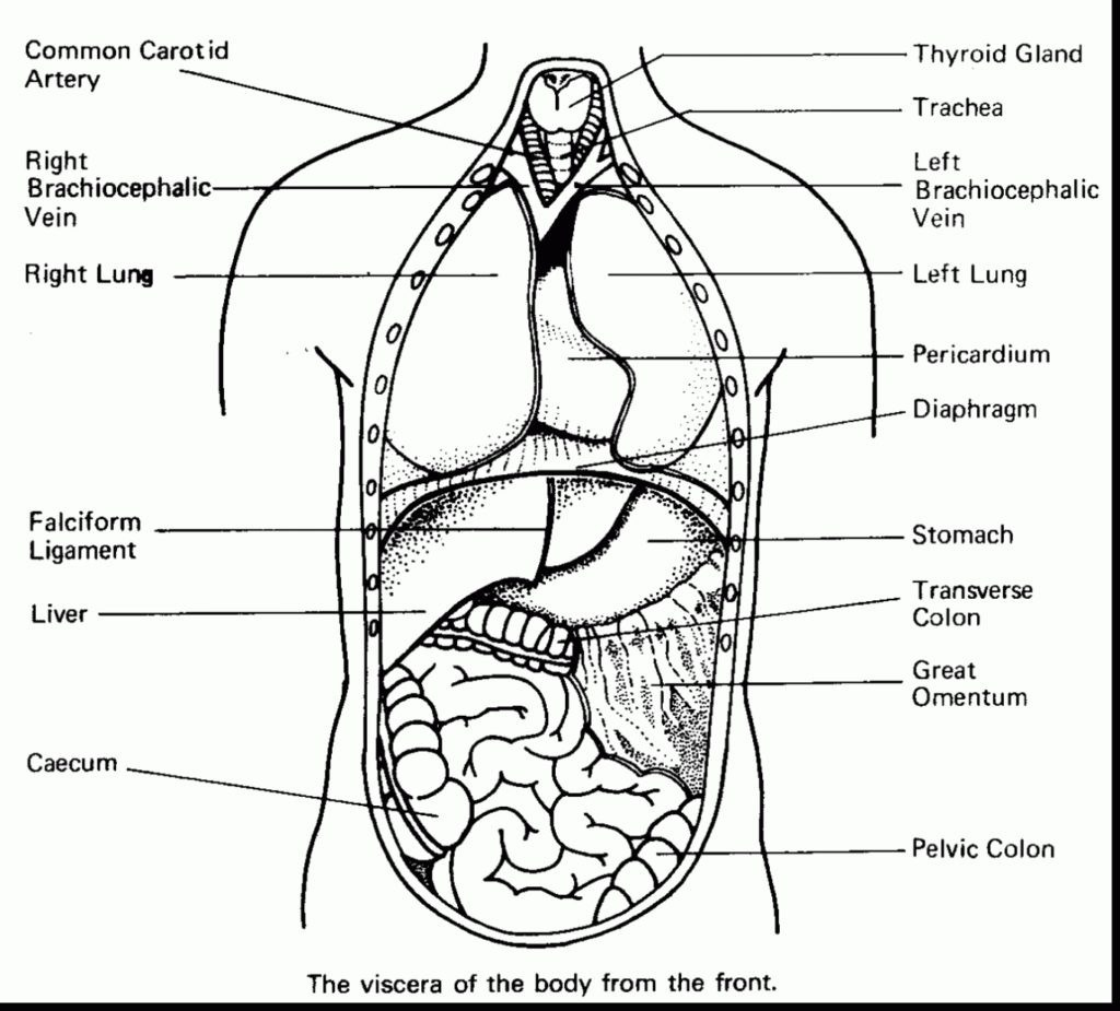 Human Body Coloring Pages