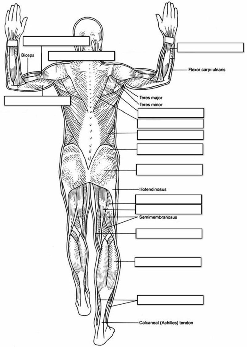 Human Muscles Coloring Key