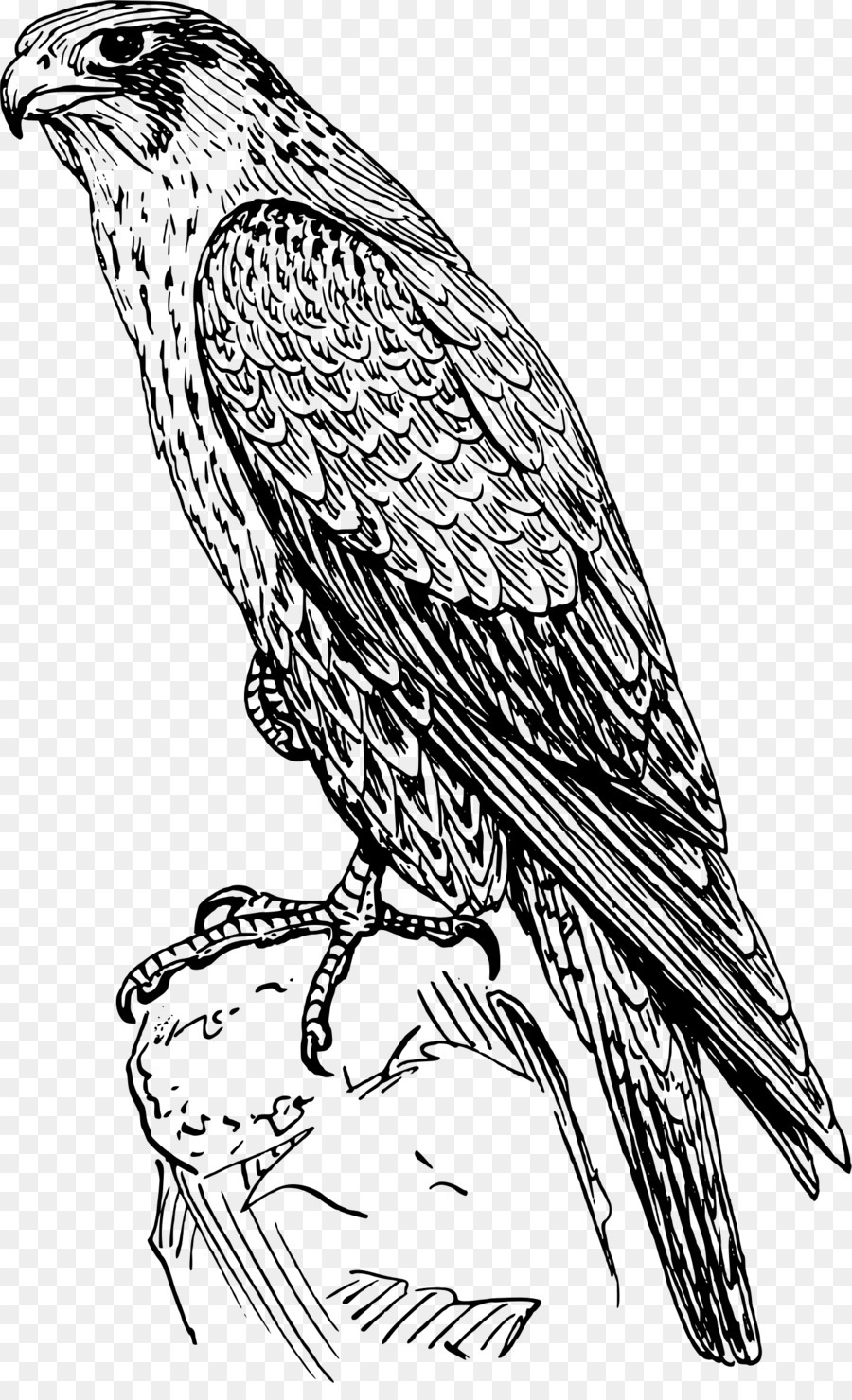 Peregrine Falcon Drawing Clip Art