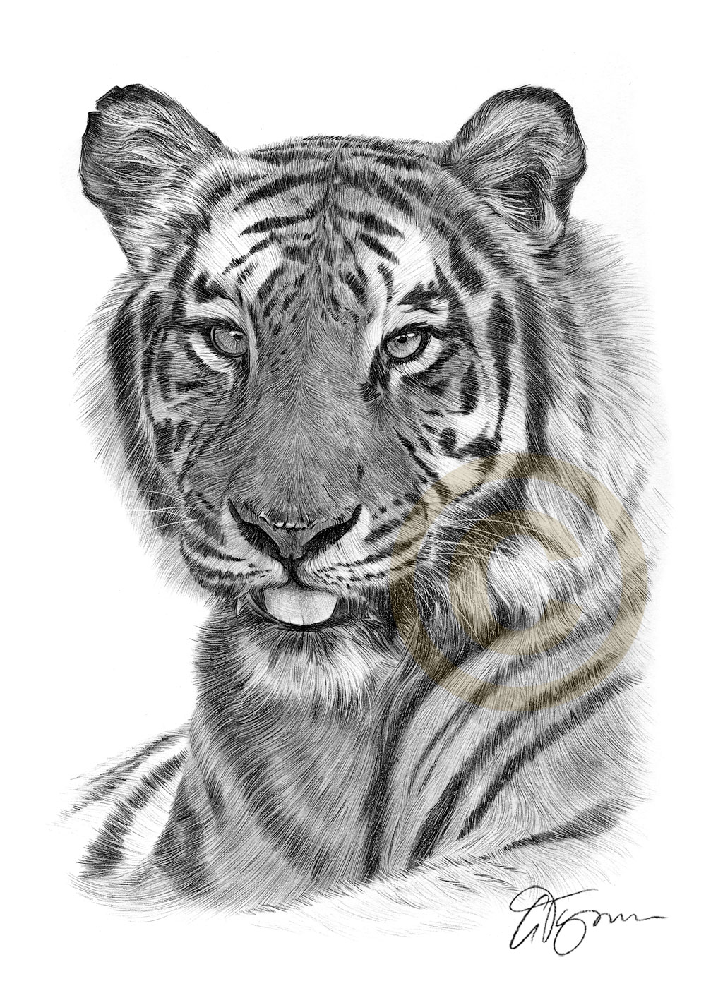 Pencil Drawing Of An African Bengal Tiger By Artist Gary Tymon