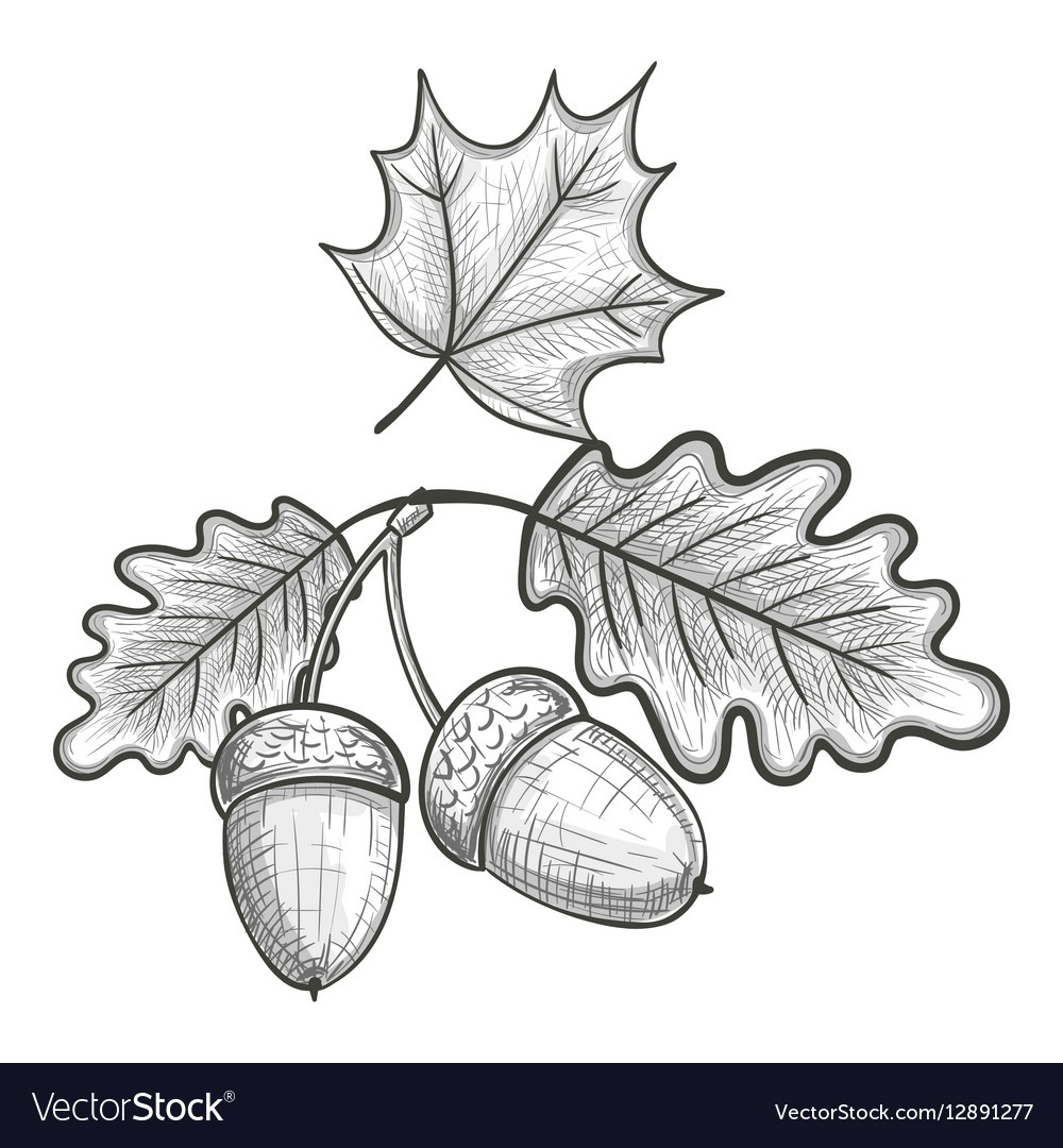 Sketch Of An Oak Leaf And Acorn Royalty Free Vector Image