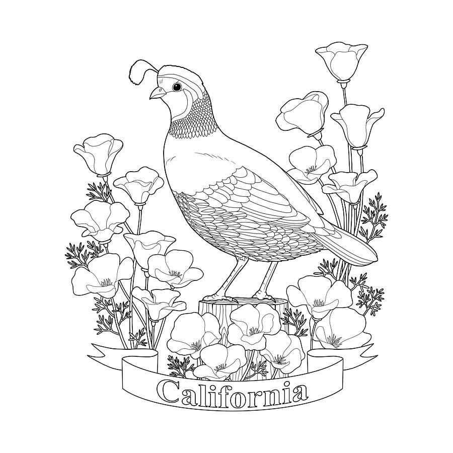 State Bird And Flower Coloring Page Digital Art By Crista Forest