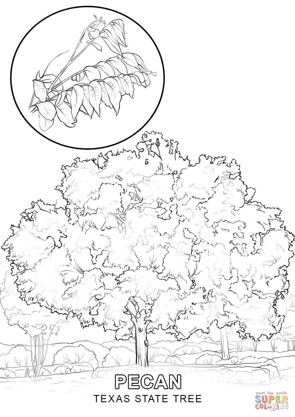 Texas State Tree Coloring Page