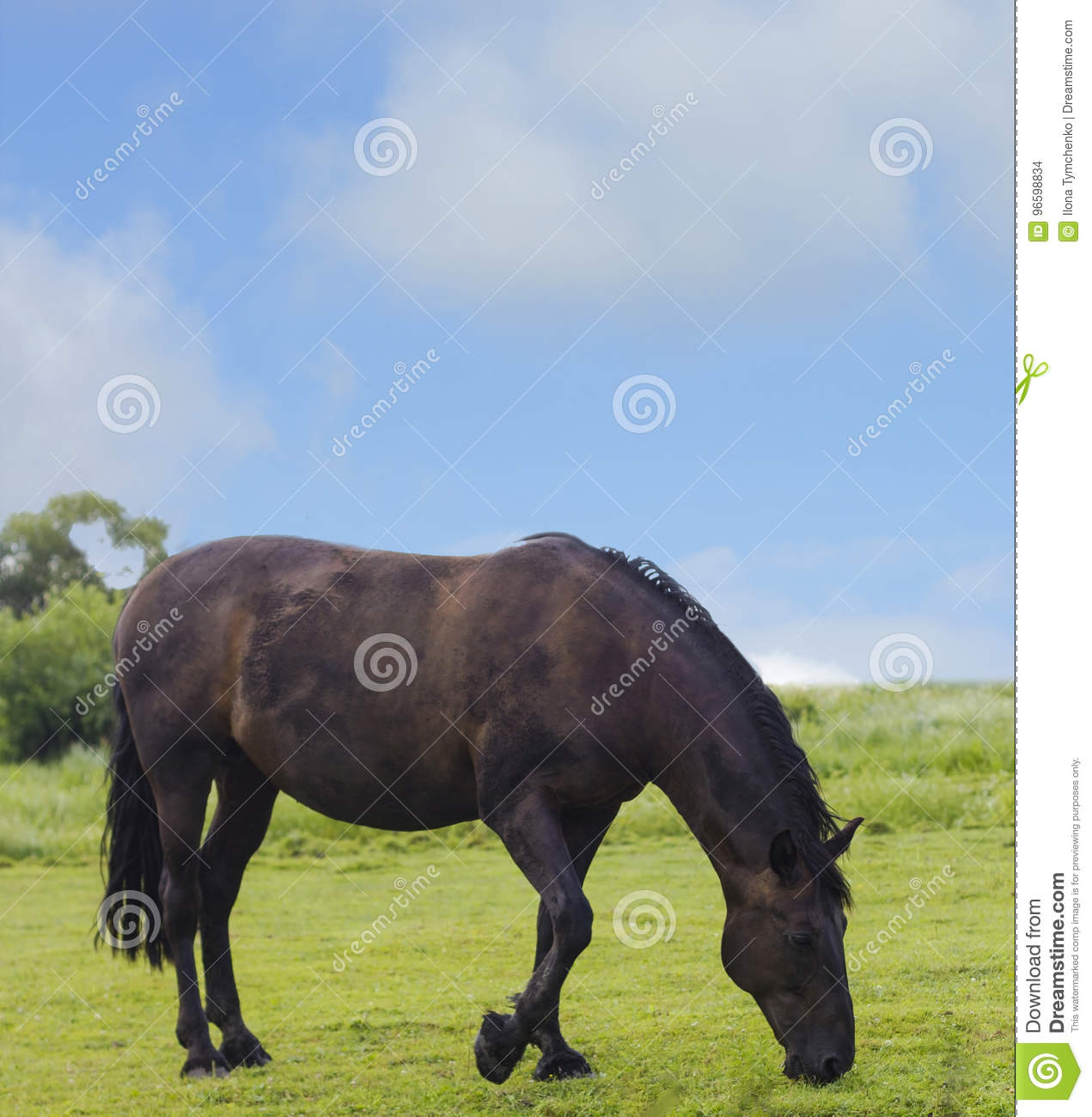 Wild Horse Dark Brown Color On Grass Stock Photo