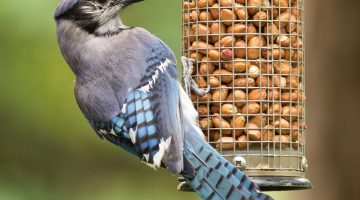 Is Food Coloring Safe For Birds