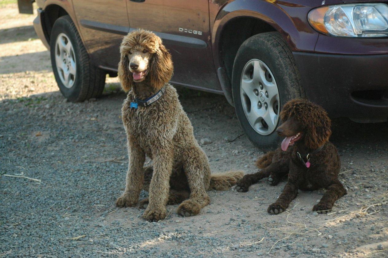 Hello! Rare Color Poodle  Or Fault